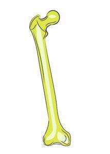 大腿骨(イラスト)